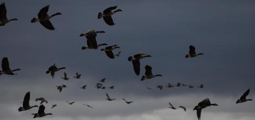 flyingbirds720x339
