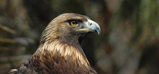Golden Eagle in Europe from France to the Urals - Aquila chrysaetos chrysaetos