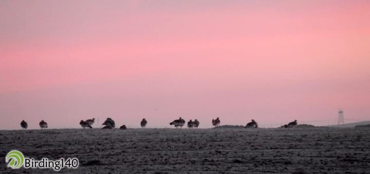 Bustards at dawn