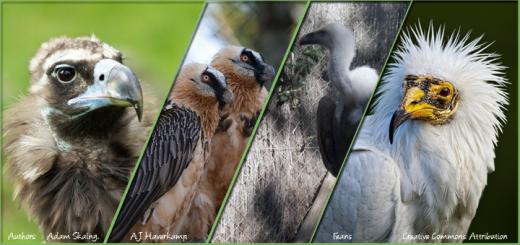 European vultures
