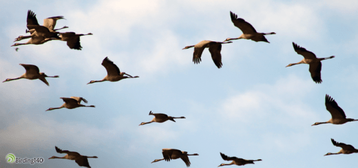 Common Cranes migration