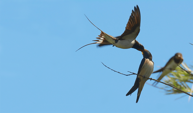 Swallow feeding their chicks while flying