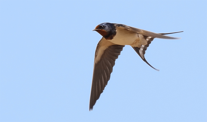 Swallow in spring