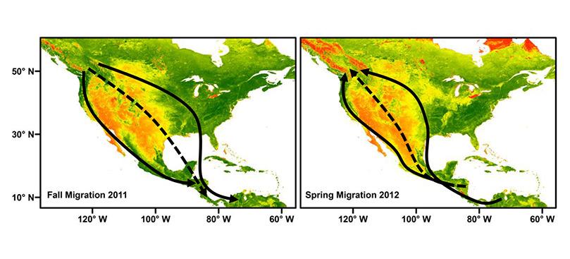 Si los progenitores tienen rutas migratorias diferentes, sus descenes realizarán una ruta intermedia