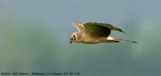 Rob Zweers - Pallid Harrier