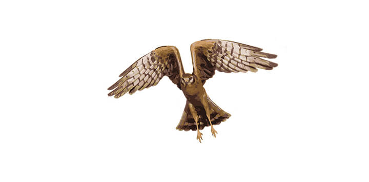 Montagu's Harrier female